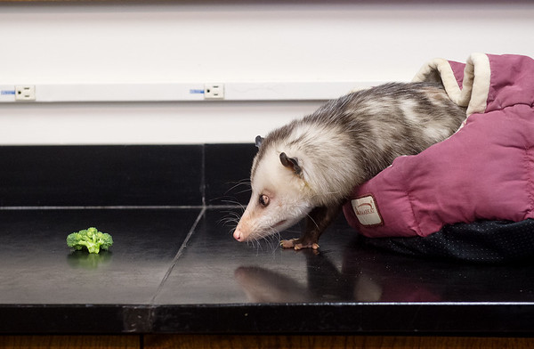 An opposum name Matilda cautiously approaches a snack at Pittsburg State University's Nature Reach on Friday.<br /> Globe | Roger Nomer