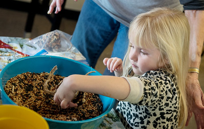 Aubrey Bradley, 5, Joplin, makes a pinecone birdfeeder during Wednesday's The After Christmas Tree program at the Shoal Creek Conservation and Education Center. The program was put on by the Wildcat Glades Friends Group. Globe | Roger Nomer
