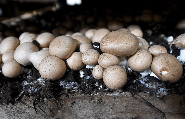 Crimini mushrooms flourish in one of 250 beds on Friday Miami's J-M Farms.<br /> Globe | Laurie Sisk
