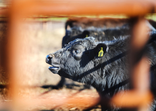 Globe/T. Rob Brown<br /> A replacement calf adjusts to its surroundings Wednesday afternoon, Feb. 13, 2013, seen through a metal corral damaged by cattle rustlers recently when they stole most of a herd of cattle belonging to Kyle Burk of Marionville.