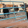 Globe/T. Rob Brown<br /> A replacement calf makes some noise Wednesday afternoon, Feb. 13, 2013, next to a gate damaged by cattle rustlers recently when they stole most of a herd of cattle belonging to Kyle Burk of Marionville.