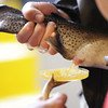 Globe/T. Rob Brown<br /> Step 7: Roaring River State Park Fish Hatchery employees take a sample of eggs from a female rainbow trout to examine and make sure they are fertile.