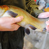 Globe/T. Rob Brown<br /> Step 6: Roaring River State Park Fish Hatchery employees add a male rainbow trout's genetic material to a set of vials.