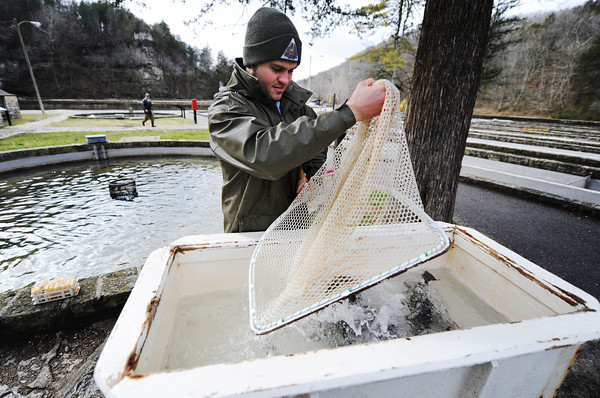 Globe/T. Rob Brown<br /> Step 2: Roaring River State Park Fish Hatchery's Brad Farwell, assistant hatchery manager, drops a netload of trout into a special tank containing anesthesia to knock the fish out for the breeding process.
