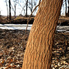 Rust from mineral deposits stain the trunk of a tree near Tar Creek. A wetlands area aimed at naturally filtering the water should lessen the damage caused by the deposits<br /> Globe | Laurie Sisk