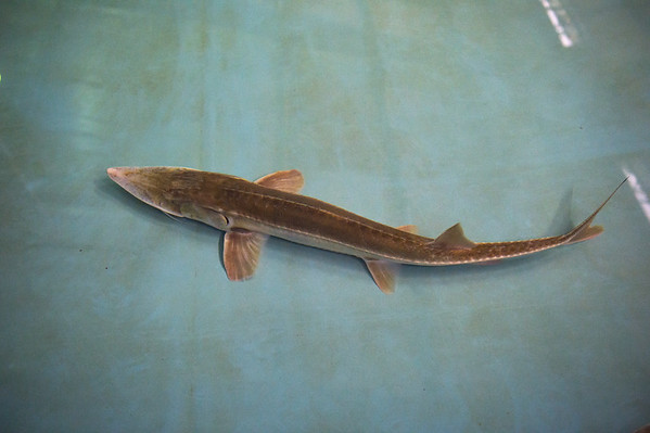 A pallid sturgeon swims in a tank at the Neosho National Fish Hatchery on Monday.<br /> Globe | Roger Nomer