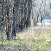 Globe/T. Rob Brown<br /> A Joplin SWAT member, part of a search & rescue team, checks the forest line as other searchers also look for a missing Joplin man Monday afternoon, Jan. 2, 2012, within a couple blocks of the intersection of Newman Road and Florida Avenue.