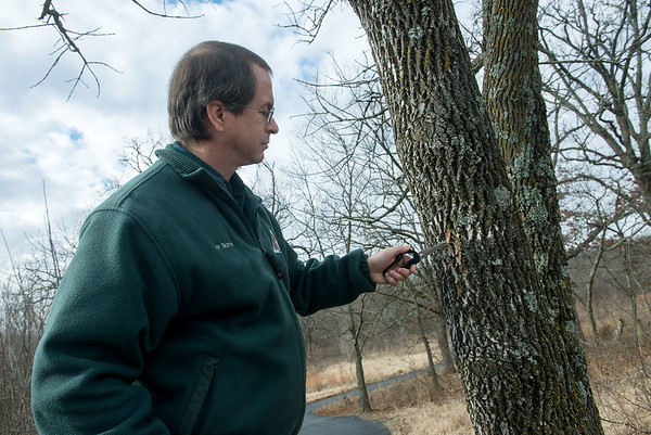 Globe/Roger Nomer<br /> Jon Skinner, community forester with the Missouri Department of Conservation, scrapes bark from a Green Ash tree on Wednesday at Wildcat Glades.