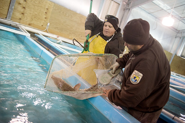 Globe/Roger Nomer<br /> Justin Perkins, left, fishery biologist, and Jaime Pacheco, lead fishery biologist, read a microchip on the fin of a Pallid Sturgeon on Thursday at the Neosho National Fish Hatchery.