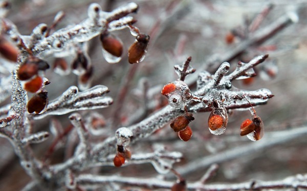 Globe/Roger Nomer<br /> A branch becomes covered in ice on Friday in Carthage.
