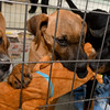 "From the left: Brother and sister ""Bumble"" and ""Bee"" share a toy with ""Dopey"" as they entertain guests during the grand reopening of the Carthage Humane Society on Saturday at the shelter.<br /> Gobe 