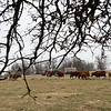 Cattle graze on the Martin's farmland in Newton County on Thursday afternoon.<br /> Globe | Roger Nomer