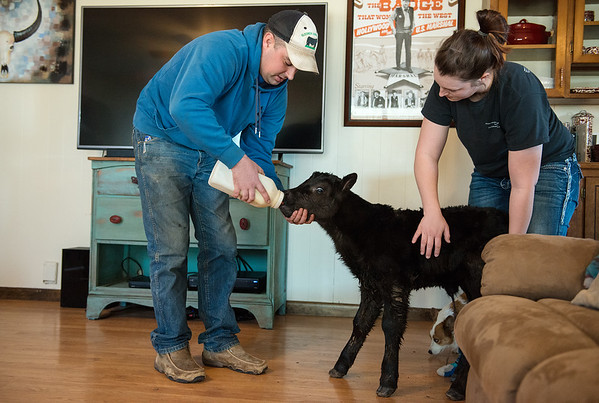 Globe/Roger Nomer<br /> Traves and Bailey Merrick feed a newborn calf in their living room in Miller on Wednesday afternoon. During the record cold weather, the Merricks have brought calves inside to warm up, including this one born early Wednesday morning.
