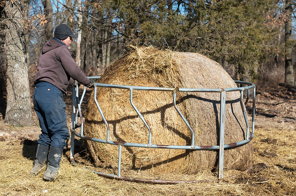 Globe/Roger Nomer<br /> Russell Marion puts out hay for his cattle on Wednesday near Pierce City.
