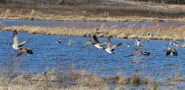 Canadian geese take flight over an area that is being developed as a wetlands inside the Center Creek Wastewater Treatment Plant in Webb City on Tuesday.<br /> Globe | Laurie Sisk