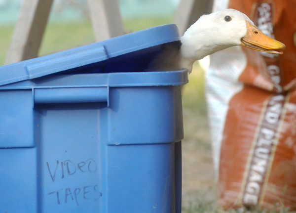 Globe/Roger Nomer<br /> A goose pokes its head out of a mismarked bin at the Jasper County Youth Fair on Tuesday.