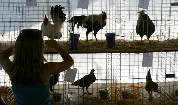 Globe/Roger Nomer<br /> Brianna Werner, 11, Seneca, tends to her roosters during the Newton County Fair on Wednesday morning.
