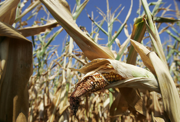 Globe/Roger Nomer<br /> Drought conditions have taken their toll on area crops this summer.