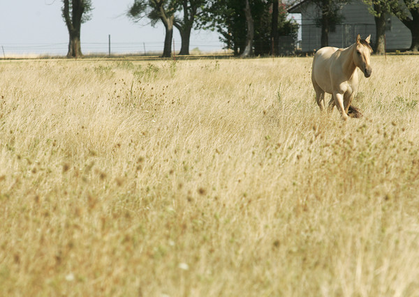 Globe/Roger Nomer<br /> A horse grazes in a dry field near Carl Junction on Wednesday morning.