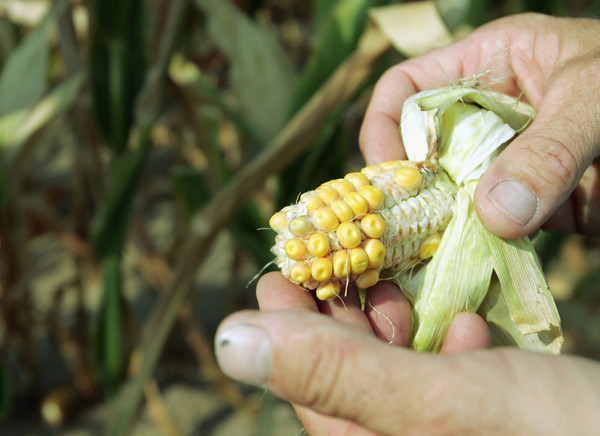 Globe/Roger Nomer<br /> The recent drought has has an affect on area corn crops.