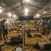 Globe/Roger Nomer<br /> Entries wait a weigh in at the pig barn on Tuesday evening at the Jasper County Youth Fair.