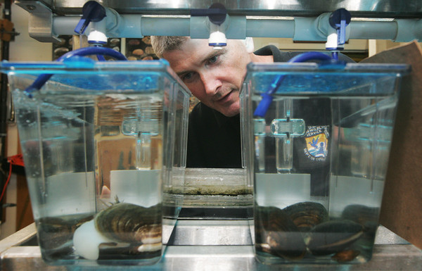 Globe/Roger Nomer<br /> Bryan Simmons examines several Neosho Muckett mussels, which are on the endangered species list, as they are raised in tanks at Missouri State University on Wednesday.