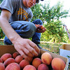 Globe/T. Rob Brown<br /> Daniel Rennie of Columbus, Kan., a fruit picker for Brenda's Berries, adds more peaches to a box in the orchard Friday morning, July 19, 2013, near Chetopa, Kan.