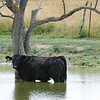 Globe/T. Rob Brown<br /> A cow cools off in a pond Friday afternoon, July 19, 2013, in Kansas, just west of the Missouri border, on Highway 171.