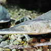 Globe/T. Rob Brown<br /> A pallid sturgeon swims around in an aquarium Friday morning, July 12, 2013, during the Neosho National Fish Hatchery's 125th Anniversary Celebration.