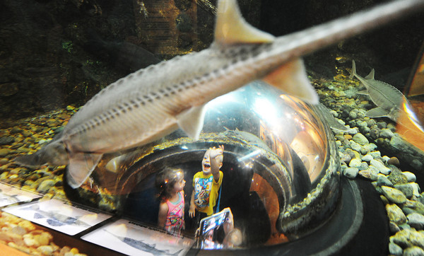 """Globe/T. Rob Brown<br /> Two-year-old Shaidan Prescott of Neosho waves and says, """"fishies,"""" as a pallid sturgeon swims over him and Ava'lyn Morrison, 2, of Seneca, in an aquarium Friday morning, July 12, 2013, during the Neosho National Fish Hatchery's 125th Anniversary Celebration."""