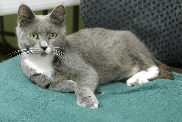 Globe/Roger Nomer<br /> This pregnant and as yet unamed cat has been adopted as a mascot at the Joplin Museum Complex.