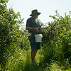 Globe/Roger Nomer<br /> Coleman Darby, Grove, fills a bucket with blueberries at Heritage Family Farms on Wednesday.