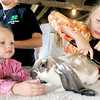 """Six-year-old Morgan Barber, 6, of Seneca, grooms """"Ears,"""" her English Lop Reserve Grand Champion in the Pee Wee Division on Thursday at the Newton County Fair.<br /> Gloe 