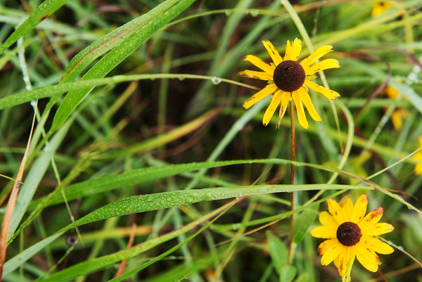 Globe/Roger Nomer<br /> Wildflowers grow at Carver Prairie.