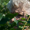 Globe/Roger Nomer<br /> Doris DeGruson, Carl Junction, looks for ripe blueberries at Heritage Family Farms on Wednesday.