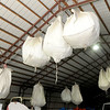 Large bags of pecans hang in a barn on the Jim and Holly Holton farm in Miami on Thursday.<br /> Globe | Laurie Sisk