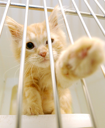 """Miss Murphy,"" a female orange tabby kitten, reaches out from her cage on Friday at the Joplin Humane Society.<br /> Globe 