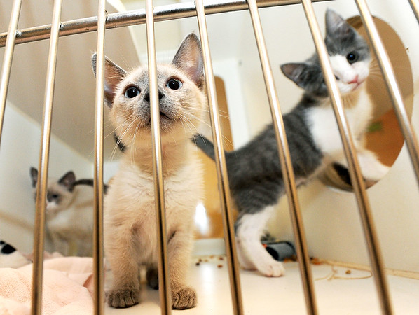 Three kittens peer from their cage on Friday at the Joplin Humane Society.<br /> Globe | Laurie Sisk