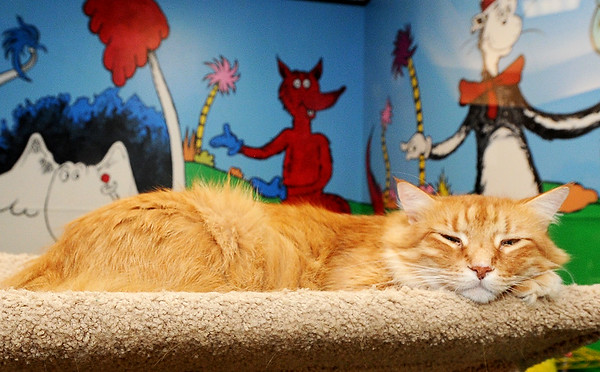 Boomer, a senior male cat, watches the world go by from his perch on Friday at the Joplin Humane Society.<br /> Globe | Laurie Sisk