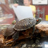 Two aquarium turtles keep Wildcat Glades Conservation and Audubon Center volunteer Dennis Conrow company at the front desk on Wednesday morning.  The park will soon be celebrating its 100th anniversary.<br /> Globe | Laurie Sisk