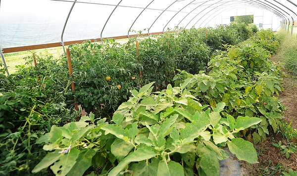 A variety of crops sit inside one of two high tunnels on Tuesday at the Yang family farm in Rocky Comfort.<br /> Globe | Laurie Sisk