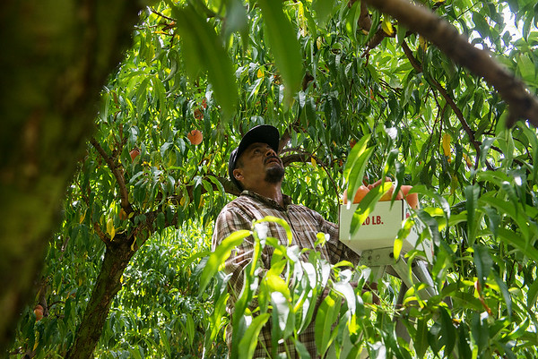 Globe/Roger Nomer<br /> Raul Bello picks peaches at Murphy Orchard on Wednesday in Marionville.