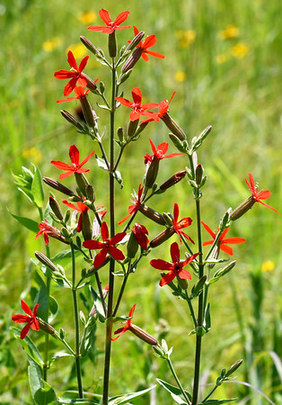 Brilliant red royal catchflys rise skyward last week on the Noah Brown Prairie. A sticky substance under the bloom can trap small insects. Dedication of the Prairie will be July 22.<br /> Globe | Laurie Sisk