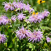 Wild bergamot's grow among brown-eyed Susan's and scores of other prairie plants last week on the Noah Brown Prairie. Dedication of the Prairie will be July 22.<br /> Globe | Laurie Sisk