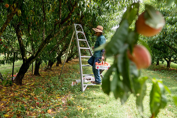 Globe/Roger Nomer<br /> Luis Perez picks peaches at Murphy Orchard on Wednesday in Marionville.