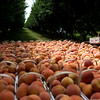 Globe/Roger Nomer<br /> Peaches are ready for harvest at Murphy Orchard in Marionville.