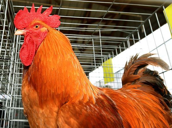 Layton Booth's New Hampshire rooster watches the hustle and bustle around him as youth prepare their animals for show on the first day of the Newton County Fair on Wednesday in Neosho.<br /> Globe | Laurie Sisk