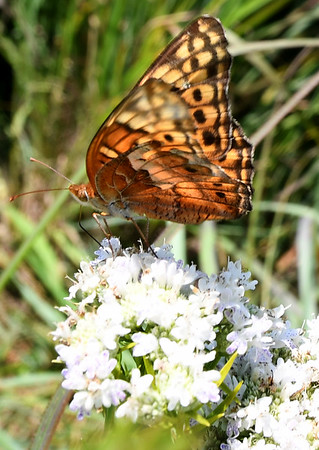 A frittillary butterfly rests on prairie flowers last week on the Noah Brown Prairie. Dedication of the Prairie will be July 22.<br /> Globe | Laurie Sisk