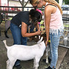 From the left: Fifteen-year-olds Quincy Nelson, of Sarcoxie and Latisha Peveto, of Reeds, ready their goats for showing on the first day of the Newton County Fair on Wednesday in Neosho.<br /> Globe | Laurie Sisk