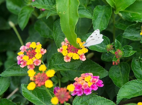 A moth lands in the Carthage Public Library gardens on Thursday.<br /> Globe   Roger Nomer